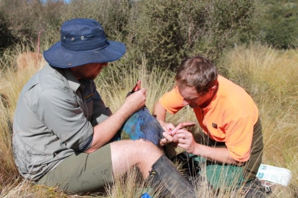 DOC rangers banding a takahē in the Murchison Mountains.