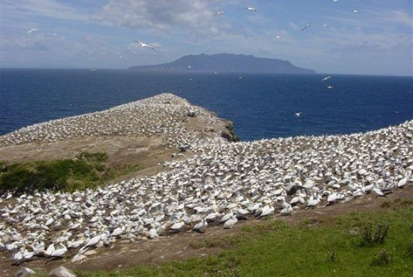 Australasian gannet colony on Mahuki Island.