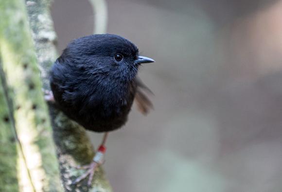 Black robin. Photo: Leon Berard | CC BY 2.0.