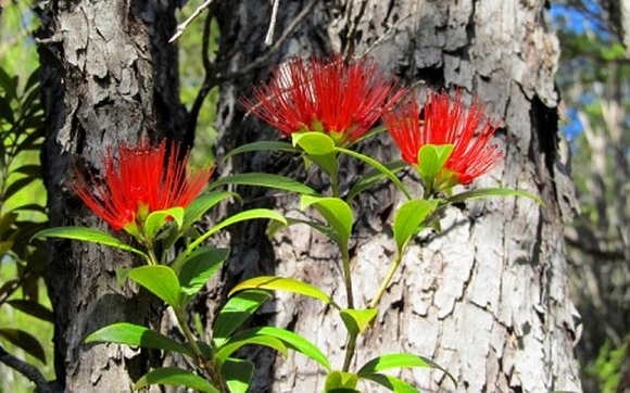 Three red rata flowers.