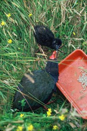 Takahē chick with mum.