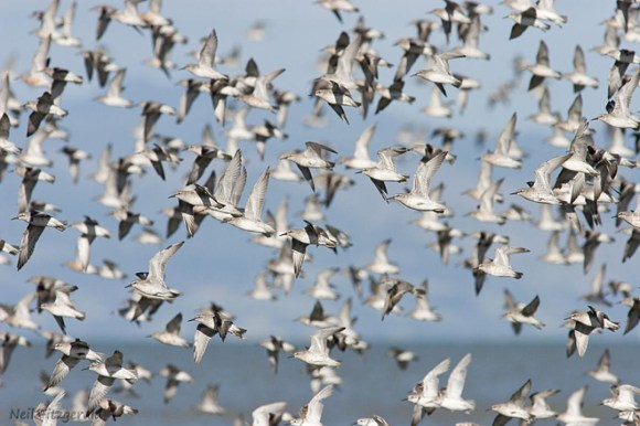 A flock of red knots takes flight.