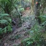 Steep bush dense track at Hakarimata.