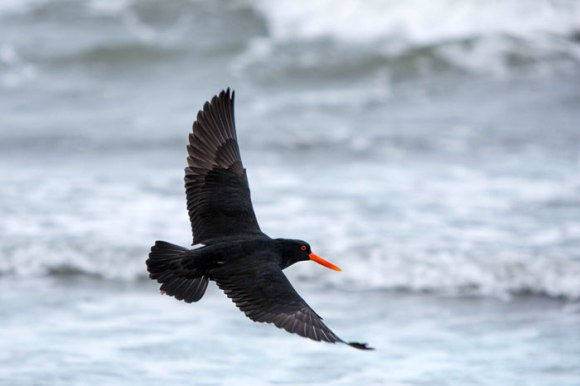 Variable oystercatcher. Photo © Brian Sheppard.