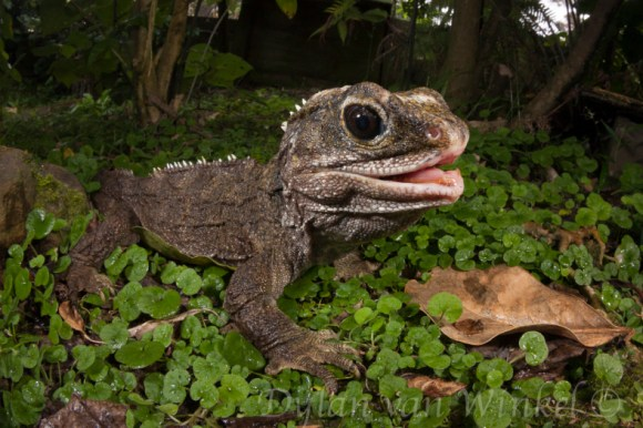 Sphenodon punctatus (Northern tuatara). Photo © Dylan van Winkel.