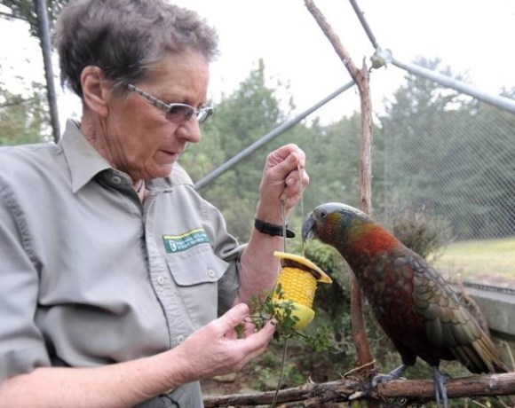 Carol giving resident kākā, Charlie Brown, her breakfast.