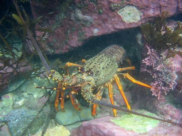 Crayfish, Te Tapuwae o Rongokako Marine Reserve