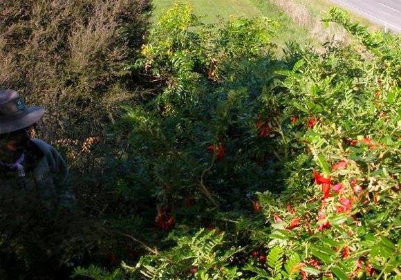 Wild kakabeak plant.