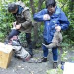 Undertaking Ōkārito brown kiwi/rowi recovery work on Motuara Island.