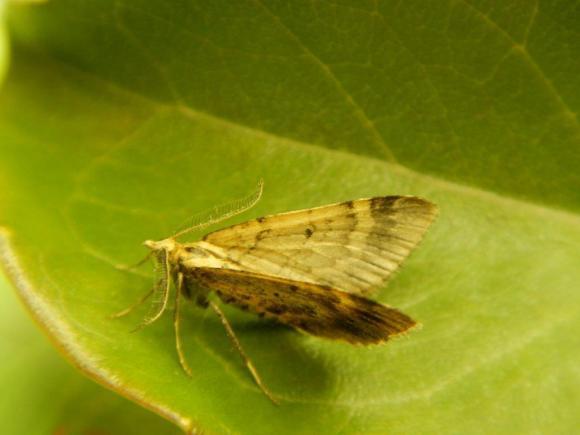 Asaphodes frivola/little brown moth. Photo: Brian Patrick.