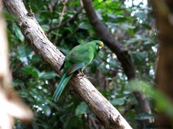 Female orange-fronted parakeet in a tree.