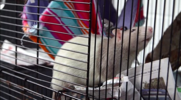 A pet rat in a cage. Photo: Cristian Rodriguez.