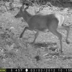 Deer, caught on camera.