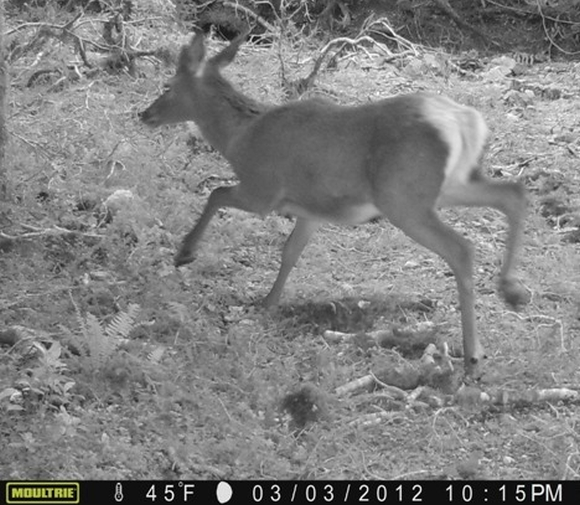 A photo of deer taken from trail cameras on Secretary Island.