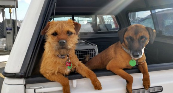Conservation dogs, Pai and Piri.