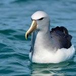 Salvin's Albatross. Photo: Katherine Clements.