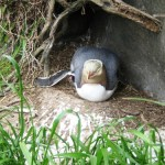 Yellow-eyed penguin bravely protecting her egg.