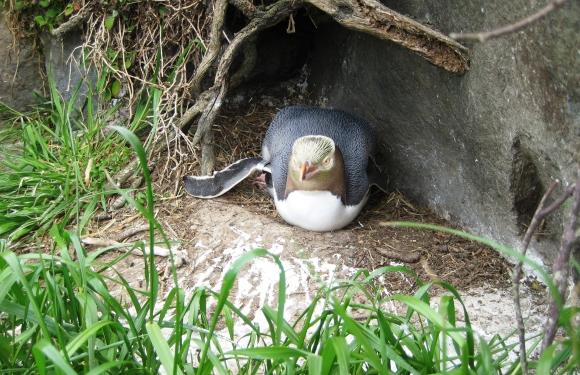 Penguin bravely protecting her egg.