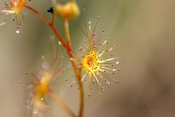 Drosera peltata sundew. Photo: Tony Foster | CC BY-ND 2.0.