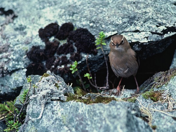 Rock wren female with feather in beak, at nest hole, Transit Valley, Fiordland. Photo: Dick Veitch.