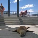 New Zealand sea lion.