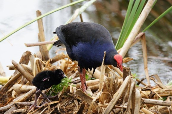 Pūkeko chick and an adult pūkeko at Hamilton Lake. Photo: Des Williams.