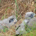 New Zealand falcon chicks.