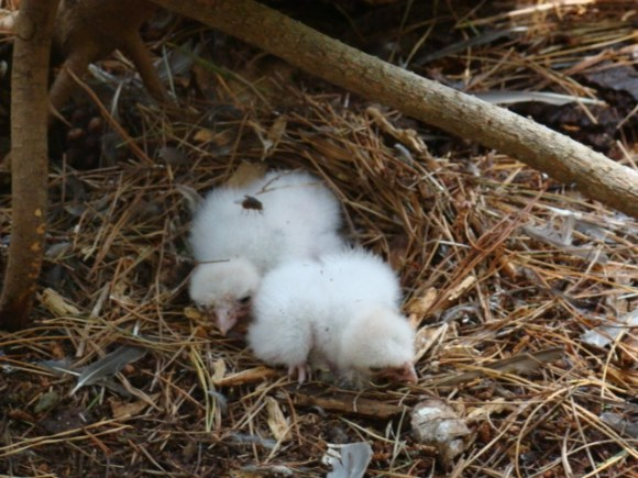 Newly hatched New Zealand falcon/kārearea chicks in their nest.