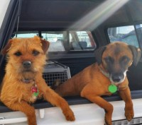 Conservation dogs Piri and Pai hanging out the back of a DOC vehicle.