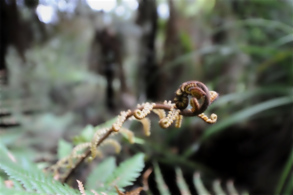 Fern unfurls at Whirinaki Te Pua a Tane. Photo: Or Hiltch | CC BY-NC 2.0.