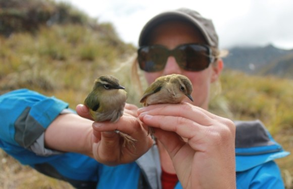 Kerry Weston holding two rock wren caught at Lake Roe, Fiordland.