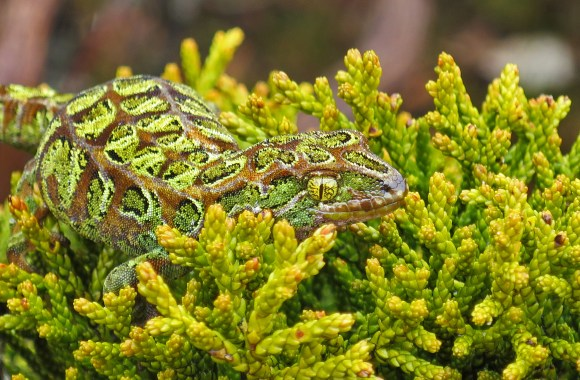The bronze medal image of a rare harlequin gecko. Photo copyright Phil Melgren.