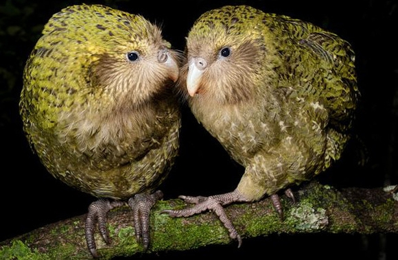 Two kākāpō on a log.