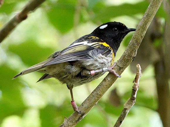 Stitchbird / hihhi. Photo: David Cook Wildlife Photography | CC BY-NC 2.0.