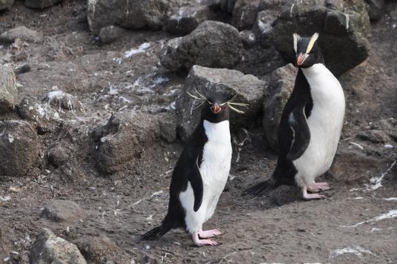 Eastern rockhopper penguin and erect-crested penguin. Photo by Kath Walker.