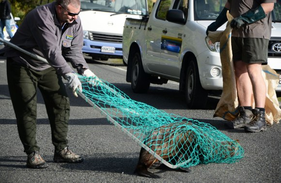 Pete Blaxter snares seal in net. Photo: Don Herron.