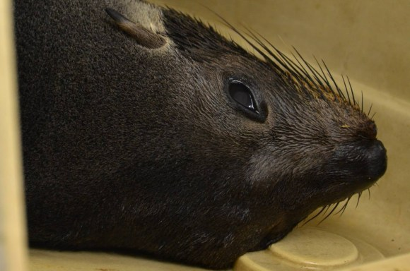 The New Zealand fur seal lying down in a crate. Photo: Auckland Zoo.