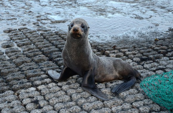 The Shelly Bay New Zealand fur seal. Photo: Don Herron | DOC.