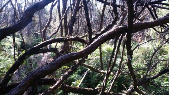 Tangle of manuka in Whangamarino Wetland.