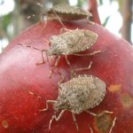 Brown marmorated stink bugs feeding in an orchard.