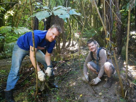 Two volunteers removing the weed wandering willie.