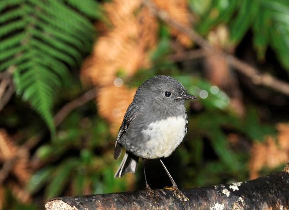 South Island robin on Anchor Island. Photo: Barry Harcourt.