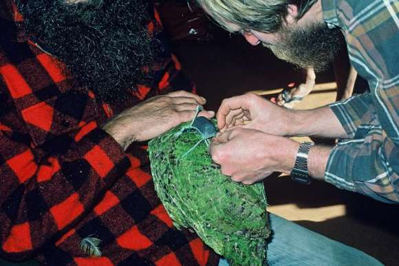 Gary Aburn (left) and Ralph Powlesland (right) tying a radio transmitter on a kakapo, Scollay's Hut, Stewart Island, 1983. Photographer: P.J. Moors.