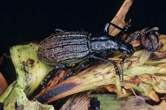 Weevil on Adams Island. Photo: M Meads.