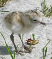 NZ dotterel chick on the Coromandel.