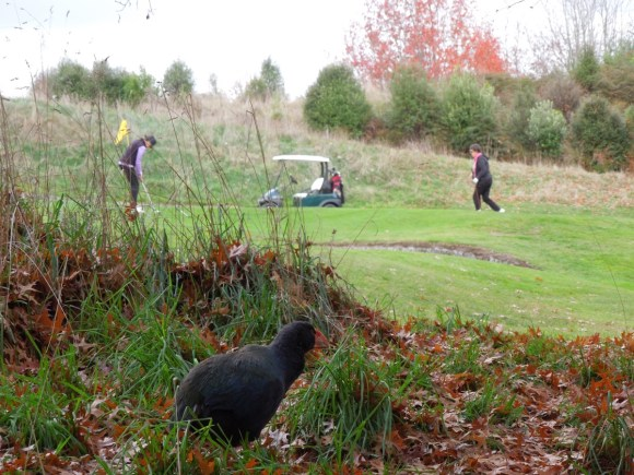 Grant the takahē watches from the 5th hole. Photo: Jeff Willis.