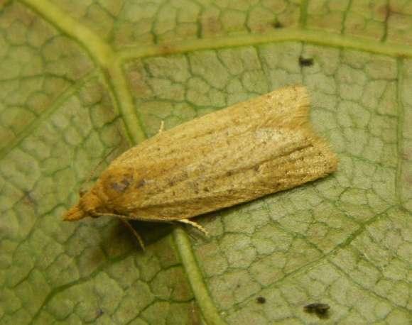 Yellow torticid moth. Photo: Brian Patrick.