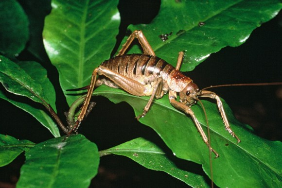 Giant wētā. Photo by Mike Aviss.