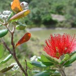 Pohutukawa flower. Photo: Rebecca Stanley.