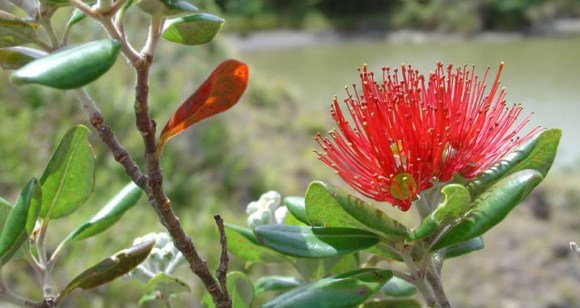 Pohutukawa flower. Photo Rebecca Stanley.
